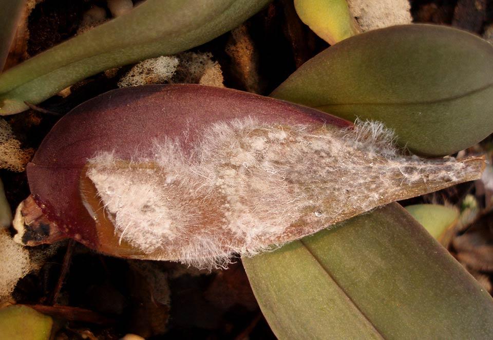 Hark Orchideen - Krankheiten: Sclerotium